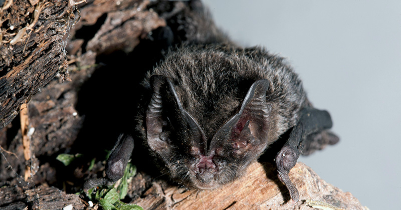 The Wildcare Guide to Bats – The Barbastelle