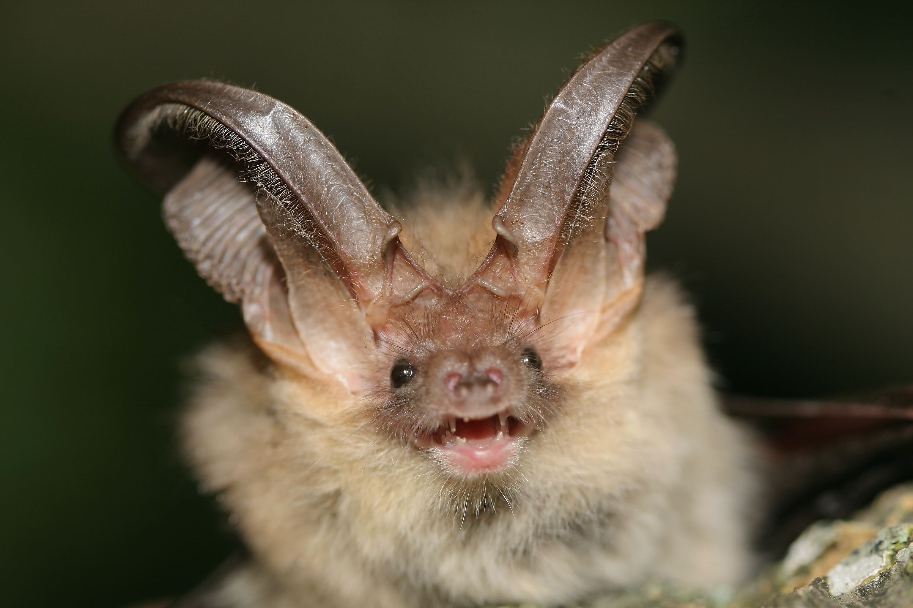 The Wildcare Guide to Bats - Brown Long-eared Bat