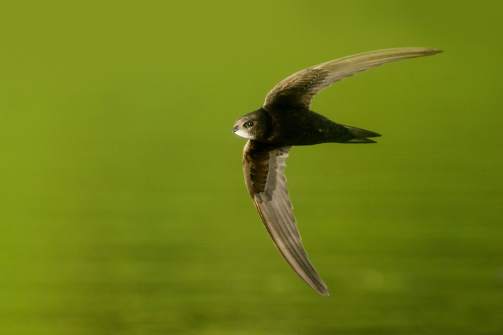 Wildcare Guide to Bird Boxes – Swifts (Apus apus)