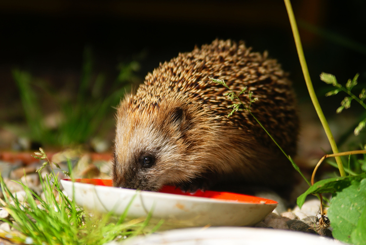 How to reverse the population decline of our beloved hedgehogs
