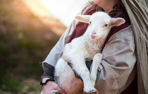 Top Tips for Weaning Orphan Lambs